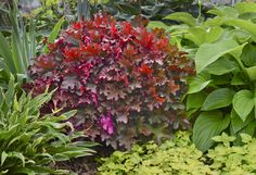DOLCE CINAMON CURLS CORAL BELL ~ Heuchera 'Cinamon Curls' ~ 20-30 cm tall.. Spacing 40-40 cm.  Stunning foliage is the star.  Compact plants with glossy, leathery, densely curled leaves which are marvels of mingled colours - coppery orange, red and purple tones on the leaf tops with bright magenta on the underside.  Tiny white flowers in late spring and early summer on burgundy stems.  Plant in full sun to partial shade in moist well drained soil.