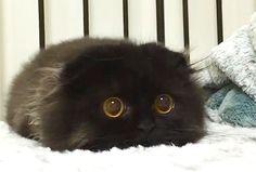 """【まん丸おめめ♪】まっくろくろすけのような黒ネコちゃん、""""かわいすぎる"""" と話題に♡ (14枚) :: PECO(ペコ)"""