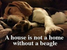 Beagle owners can identify with this