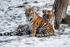 Amur tiger cubs learn to hunt at about 18 months, and stay with their mothers until reaching age 2 or 3. Amur tigers are among the largest cats in the world. Although cubs are tiny at birth and weigh only a few pounds, adults in the wild weigh between 250 and 500 lbs. (113 to 227 kilograms). (Credit: Julie Larsen Maher ©WCS.)