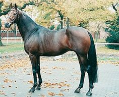 Stallion Lauries Crusader