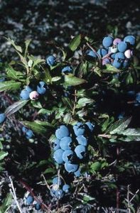 How to Plant Blueberries in Containers in Texas