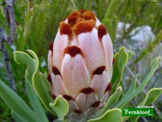 brown tipped pink protea - rare