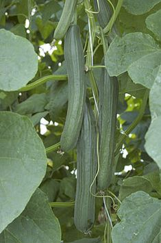 Kalunga Long Dutch cucumber or English cucumber Kalunga is an older but widley used variety. Fruits are slightly ribbed and have a nice dark green color along with a good shelf life. Cucumber Seeds, Cucumber Plant, Fruit Plants, Fruit Trees, 10 Gallon Fish Tank, Powdery Mildew, Cucumber Sandwiches, Growing Veggies, English Cucumber