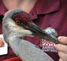 Sandhill Crane Release in Orange Lake    As the bird was released, it shook its feathers, smoothing down those that had been ruffled during transport. It calmly walked away from its rescuers, took a drink of water, then raised its head and trumpeted. #MyFWC