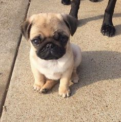 Out of all my gifts this was my favourite one my new baby pug looks just like this thank you mum and dad xxxxxx