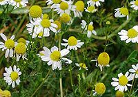 German chamomile. It is used as a herb in alternative herbal treatments to treat ailments and problems. It is used to relax, calm and fight anxiety, reduce skin redness and allergic reactions.