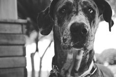 great dane ... pets in frames photography #facebookpage