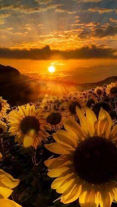 Sunflower Iphone Wallpaper, Flower Phone Wallpaper, Sunset Wallpaper, Iphone Background Wallpaper, Wallpaper Lockscreen, Sunflower Pictures, Sunflower Art, Sunflower Photography, Nature Photography
