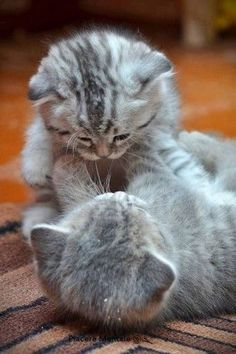 Playful Kittens.Tap the link to check out great cat products we have for your little feline friend!