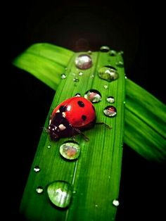 Ladybug and droplets on green leaf Photo Coccinelle, A Bug's Life, Beautiful Bugs, Water Droplets, Bugs And Insects, All Gods Creatures, Macro Photography, Beautiful Creatures, Butterfly