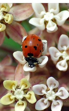 Learn everything you need to know about ladybugs and why they are good for your garden! Buy live ladybugs and find cute ladybug gifts including. Beautiful Bugs, Beautiful Flowers, A Bug's Life, Bugs And Insects, Black Spot, Beautiful Creatures, Pet Birds, Mother Nature, Lady Bugs