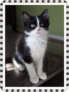 Mt. Prospect, IL - Domestic Shorthair. Meet Ava, a kitten for adoption. http://www.adoptapet.com/pet/17133465-mt-prospect-illinois-kitten