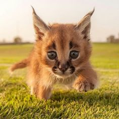 The caracal is a mammal belonging to the cat family. It is classified in the Caracal genre just like the African golden cat. Its pointed ears remind us of a certain similarity to the genus Lynx. The caracal is also known as the Lynx of Persia. Baby Caracal, Caracal Kittens, Lynx Kitten, Serval, Baby Chimpanzee, Caracal Caracal, Cute Baby Animals, Animals And Pets, Funny Animals