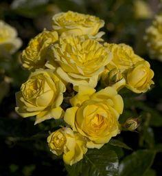 La Rose Anny Duperey ® Meitongas