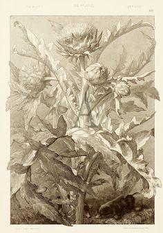 BOTANICAL ART NOUVEAU - Anton Seder