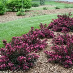 Spilled Wine® Weigela Wine & Roses® weigela has been a garden classic since we introduced it over 10 years ago. Have you tried its little sister, Spilled Wine®? Both have that luscious dark purple foliage that contrasts so beautifully with the pink flowers and are easy to grow, deer resistant shrubs that bloom in late spring. But Spilled Wine® is just 2-3 feet tall, making it ideally suited to perennial beds, the edge of foundation plantings, or any landscape need.