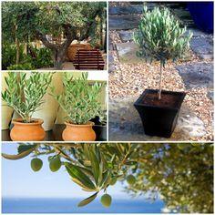 olivenbäumchen gartenpflanzen ideen olivenbäume