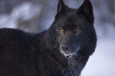 Black Tamaskan Dog | Dog breed ''Tamaskan'' looks exactly like a wolf