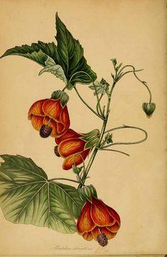 1896 botanical plate