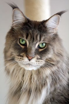 Maine Coon - Raidoh. Looks like he'd want you to take him seriously...and not mention those ears... http://www.mainecoonguide.com/male-vs-female-maine-coons/ #BigCatFamily