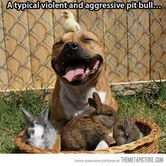 A typical pit bull…