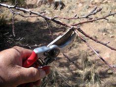 Формирование кроны сливы – дело непростое и очень важное. Если неправильно обрезать дерево, урожай будет скудным. Чтобы этого не произошло, узнайте, как и когда делают обрезку сливы в саду.Обрезку и ф...