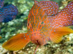 Closeup of a Spinecheek Anemonefish, Bali, Indonesia  by Tim Laman