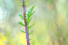 The dalton caterpillar - The same clothes that Dalton brothers...