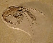 Aeger elegans, the exhibit from the Museum of Natural History in Berlin (Museum für Naturkunde).  Aeger elegans is a species of fossil prawn from the Solnhofen Plattenkalk.