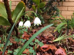 Taken by me .. These snowdrops after the rain were stunning!
