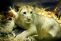 Lion Cub at Blackpool Zoo