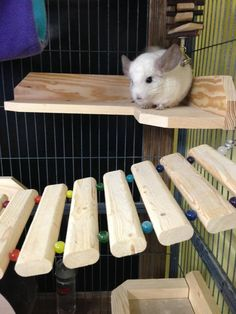 Chinchilla Cage Basics - A good cage should be tall with lots of room to jump. Plastic should be kept to a minimum or none at all, as chinchillas will chew it (glass drinking bottles, plastic trays and shelves removed and replaced with wood), a variety of ledges, a cooling space (marble slap - put in the freezer in warm weather for extra cool), nooks or tubes to hide. They need fresh hay as their primary source of food and pellets to supplement their diet. Goji berry = good treat.