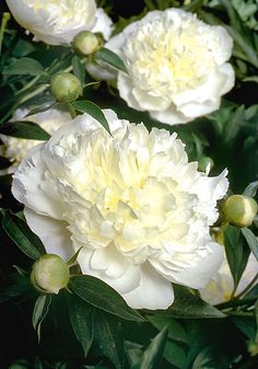 "DUCHESSE DE NEMOURS, 1851 Its rich fragrance and exquisite beauty have made this French icon a favorite for over 150 years. Opening as ""creamy chalices"" (Harding, with a golden glow inside, its abundant flowers develop into perfect white cumulus clo Peonies And Hydrangeas, Peonies Garden, Peonies Bouquet, White Peonies, Garden Roses, Hydrangea Bouquet, Coral Peonies, Amazing Flowers, White Flowers"