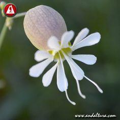 COLLEJA - Silene vulgaris - Común en el Continene Europeo está considerada como especie invasora en el Americano #silene_vulgaris Flora, Plants, Naturaleza, Plant, Planets