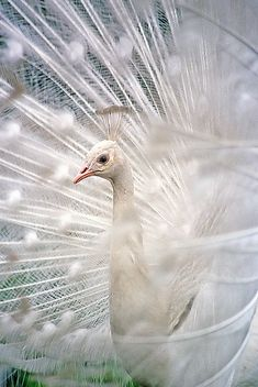 White peacock | by Katarina Stefanovic on Flickr