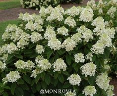 Monrovia's Baby Lace® Hydrangea details and information. Learn more about Monrovia plants and best practices for best possible plant performance.