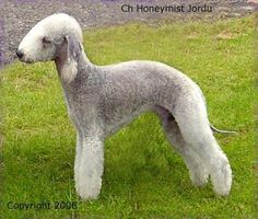 the caption said this was a Bedlington Terrier but i'm pretty sure someone just shaved a sheep.