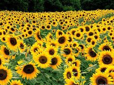 Google Image Result for http://delazious.info/wp-content/uploads/2012/07/field-of-yellow-flowers.jpg