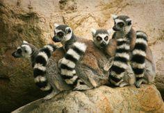 Lovely Lemurs Lemuriformes  #animal #lovely #lemurs #lemuriformes #photography
