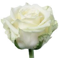 """""""White Naomi"""" roses have a better shape and a cleaner look than White Avalanche roses. Sent is great and better than other roses. The White Noami is most beautiful in large quantities ( at least and at least 75 cm long. Types Of Flowers, Cut Flowers, White Roses, Beautiful Flowers, Beautiful Things, At Least, Bloom, Ethnic Recipes, Sweet"""