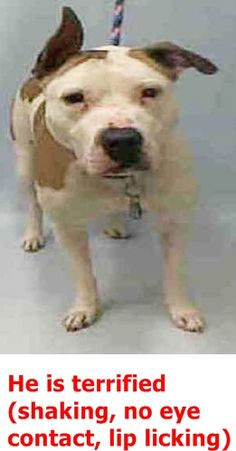 RETURN 01/17/17 STRAY --- RTO 04/28/2016 --- SUPER URGENT Manhattan Center RICO – A1070503 **DOH HOLD 04/18/16** MALE, BROWN / WHITE, AMERICAN STAFF MIX, 8 yrs STRAY – ONHOLDHERE, HOLD FOR DOH-B Reason STRAY Intake condition UNSPECIFIE Intake Date 04/16/2016 http://nycdogs.urgentpodr.org/rico-a1070503/
