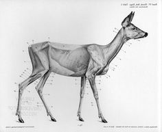 Vintage deer anatomy drawing