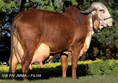 Miniature Breeds Of Cattle That Are Perfect For Small Farms Monte Fuji Japon, Farm Animals, Animals And Pets, Gado Leiteiro, Zebu Cattle, Brahma Bull, Forest Habitat, Gyr, Gardens