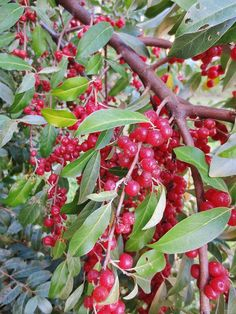 You can harvest and eat autumn olive berries! (Boiling the fruit and therefore destroying the seeds is an excellent alternative to using herbicides to control the spread of the plant too)