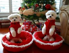 Two perfect little Bichons
