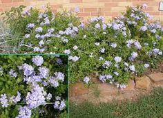 Plumbago capensis - bela emília - Arbustiva e muito ramificada presta-se para cercas-vivas e pode ser tutorada como trepadeira. Suas flores são delicadas em forma de pequenos buquês. É mais comum encontrarmos espécimes de flores azuladas embora exista uma variedade de flores brancas. Deve ser cultivada a pleno sol ou meia-sombra, isolada, em conjuntos ou como cerca-vivaboa para bordaduras, mas cresce demais e requer podas periódicas.