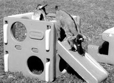Website has different ideas for making toys for goats from items such as a playground set, tires, wooden spool, etc. Keeping Goats, Raising Goats, Goat Playground, Playground Ideas, Miniature Goats, Goat Toys, Goat Pen, Goat Care, Boer Goats