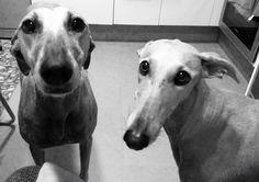 Greyhound beauty
