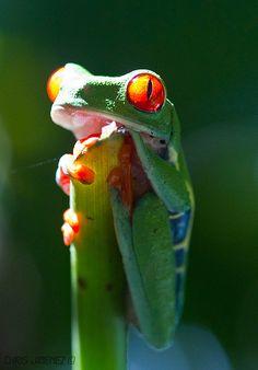 Red eye Tree Frog | Flickr - Photo Sharing!